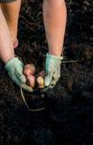 Η συγκομιδή των νέων πατατών στη γυναίκα παραδίδει τον κήπο Στοκ φωτογραφία με δικαίωμα ελεύθερης χρήσης