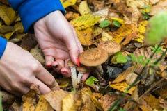 Η συλλεκτική μηχανή μανιταριών συλλέγει το mellea Armillaria στη μέση του δάσους φθινοπώρου, που κόβεται προσεκτικά με ένα μαχαίρ Στοκ εικόνες με δικαίωμα ελεύθερης χρήσης