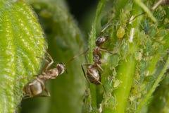 Η συμβίωση των μυρμηγκιών και aphids Δύο μυρμήγκια που βόσκουν το κοπάδι του Στοκ φωτογραφία με δικαίωμα ελεύθερης χρήσης