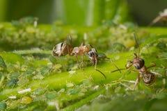 Η συμβίωση των μυρμηγκιών και aphids Μυρμήγκι που τείνει το κοπάδι του Στοκ εικόνα με δικαίωμα ελεύθερης χρήσης