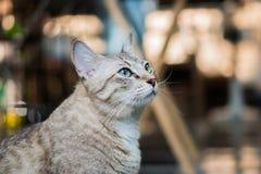 Η συμπαθητική γκρίζα γάτα κοιτάζει γύρω Στοκ Φωτογραφίες