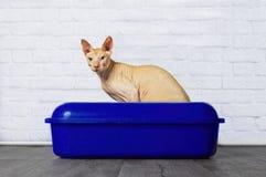Η συνεδρίαση γατών Sphynx σε ένα μπλε litterbox και κοιτάζει στη κάμερα Στοκ φωτογραφία με δικαίωμα ελεύθερης χρήσης
