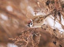Η συνεδρίαση σπουργιτιών πουλιών στους θάμνους το χειμώνα, και τρώει την τέχνη σπόρων Στοκ Εικόνα