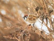 Η συνεδρίαση σπουργιτιών στους θάμνους το χειμώνα, και τρώει τους σπόρους Artemisi Στοκ φωτογραφίες με δικαίωμα ελεύθερης χρήσης