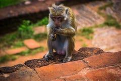 Η συνεδρίαση πιθήκων σε Sigiriya και τρώει, Σρι Λάνκα Στοκ εικόνα με δικαίωμα ελεύθερης χρήσης