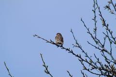 Η συνεδρίαση σπουργιτιών σε έναν κλάδο μας παρακολουθεί μικρό σπουργίτι πουλιών Στοκ Εικόνα
