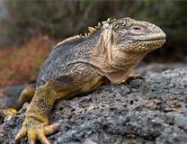 Η συνεδρίαση iguana εδάφους στους βράχους galapagos νησιά ωκεάνιος ειρηνικός Ισημερινός στοκ φωτογραφίες με δικαίωμα ελεύθερης χρήσης