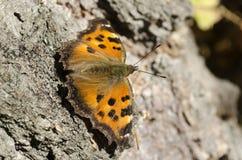 Η συνηθισμένη κνίδωση πεταλούδων κάθεται σε μια σημύδα Στοκ Εικόνες