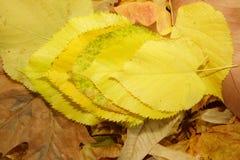 Η συσσώρευση κίτρινη βγάζει φύλλα στα καφετιά ξηρά φύλλα στοκ εικόνα