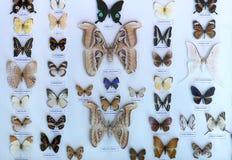 Η συλλογή πεταλούδων στην επιφύλαξη φύσης περιλαμβάνει Στοκ Εικόνες