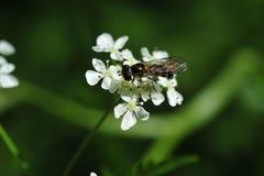 Η σφήκα θέτει σε ένα λουλούδι του χορταριού φλαούτων Στοκ Φωτογραφίες