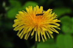 Η σφήκα διακοσμεί ένα λουλούδι dendelion Στοκ φωτογραφίες με δικαίωμα ελεύθερης χρήσης