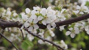 Η σφήκα κυματίζει στο άσπρο λουλούδι απόθεμα βίντεο