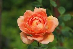 Η σφήκα στο λουλούδι αυξήθηκε στοκ εικόνα με δικαίωμα ελεύθερης χρήσης