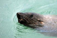 Η σφραγίδα γουνών ακρωτηρίων κολυμπά το Καίηπ Τάουν Στοκ φωτογραφίες με δικαίωμα ελεύθερης χρήσης