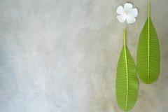 Η σύνθεση έννοιας της επεξεργασίας SPA, κλείνει επάνω των άσπρων λουλουδιών plumeria ή frangipani στο υπόβαθρο πετρών με το διάστ Στοκ Εικόνες