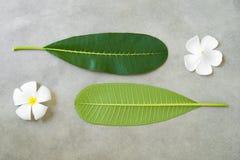 Η σύνθεση έννοιας της επεξεργασίας SPA, κλείνει επάνω των άσπρων λουλουδιών plumeria ή frangipani στο υπόβαθρο πετρών Στοκ Εικόνες