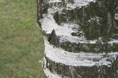 Η σύσταση ενός κορμού δέντρων Στοκ Εικόνες