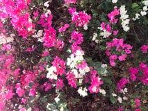 Η σύσταση ενός μεγάλου όμορφου πολύβλαστου θάμνου, εξωτικές τροπικές εγκαταστάσεις με τα άσπρα και πορφυρά, ρόδινα λουλούδια με τ στοκ φωτογραφίες με δικαίωμα ελεύθερης χρήσης