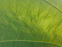 Η σύσταση λεπτομέρειας αφήνει το φύλλο πράσινο Στοκ Εικόνες