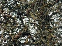 Η σύσταση πολλών μοναδικών ερυθρελατών, δέντρο πεύκων διακλαδίζεται με τους κώνους και τις βελόνες πεύκων ενάντια στον ουρανό Στοκ Φωτογραφίες