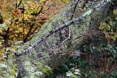 Η σύσταση του κορμού δέντρων με το βρύο λειχήνων και το υπόβαθρο στρέφουν έξω τα φύλλα φθινοπώρου στο δέντρο Στοκ Εικόνα