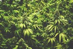 Η σύσταση υποβάθρου των εγκαταστάσεων μαριχουάνα στις εσωτερικές καννάβεις καλλιεργεί το εκλεκτής ποιότητας ύφος Στοκ Φωτογραφίες
