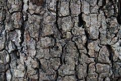 Η σύσταση φλοιών νυχιών παρουσιάζει μαύρος-καφετιά τραχιά σύσταση από gnarly το δέντρο Στοκ εικόνες με δικαίωμα ελεύθερης χρήσης