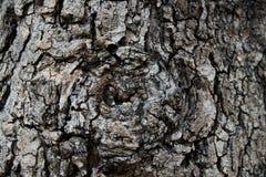 Η σύσταση φλοιών νυχιών παρουσιάζει την μαύρος-καφετιά τραχιά σύσταση και βολβό του ματιού από gnarly το δέντρο Στοκ φωτογραφία με δικαίωμα ελεύθερης χρήσης
