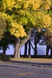 η τέφρα βγάζει φύλλα Στοκ φωτογραφία με δικαίωμα ελεύθερης χρήσης