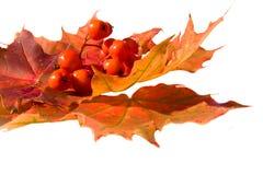 η τέφρα berrys βγάζει φύλλα το βουνό σφενδάμνου Στοκ Φωτογραφία