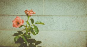 Η τέχνη των λουλουδιών, ροδαλό ισχίο στοκ εικόνα