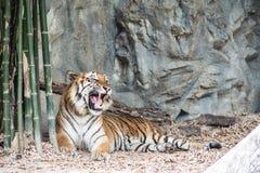 η τίγρη βρυχηθμού Στοκ Εικόνα