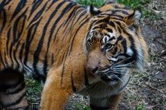 Η τίγρη θέτει Στοκ εικόνα με δικαίωμα ελεύθερης χρήσης