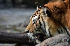 Η τίγρη κοιτάζει επίμονα στο θύμα Στοκ Φωτογραφίες