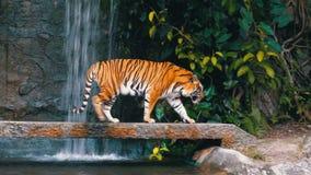 Η τίγρη περπατά στο βράχο κοντά στον καταρράκτη Ταϊλάνδη απόθεμα βίντεο