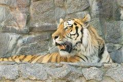 Η τίγρη στο ζωολογικό κήπο ανοίγει το σαγόνι της στοκ εικόνες