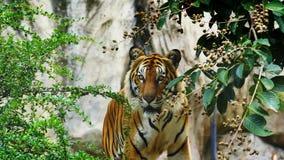 Η τίγρη της Βεγγάλης που στηρίζεται σε πιό forrest απόθεμα βίντεο