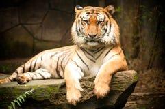 Η τίγρη της Βεγγάλης στοκ φωτογραφία με δικαίωμα ελεύθερης χρήσης