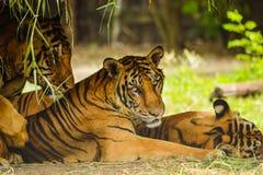 Η τίγρη της Βεγγάλης στο ζωολογικό κήπο χαλαρώνει Στοκ Εικόνες