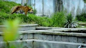 Η τίγρη φιλμ μικρού μήκους