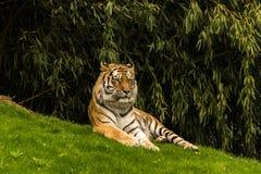 Η τίγρη Στοκ Φωτογραφίες