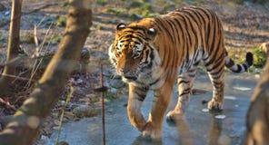 Η τίγρη Στοκ φωτογραφίες με δικαίωμα ελεύθερης χρήσης