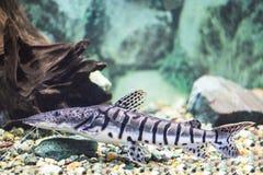 Η τίγρη Pseudoplatystoma, γατόψαρο τιγρών κολυμπά σε ένα διαφανές aq Στοκ φωτογραφίες με δικαίωμα ελεύθερης χρήσης