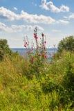 Η ταραχή του καλοκαίρι-λιβαδιού και των λουλουδιών πέρα από το Βόλγα Ρωσία στο θερινό μεσημέρι Στοκ Εικόνα