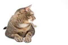 Η ταϊλανδική γάτα βάζει στο πάτωμα, δευτερεύον πρόσωπο Στοκ φωτογραφία με δικαίωμα ελεύθερης χρήσης