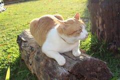Η ταϊλανδική γάτα σκύβει στο κούτσουρο στοκ φωτογραφίες