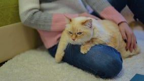 Η τεράστια άσπρη κόκκινη γάτα βρίσκεται στο πόδι της γυναίκας που κάθεται στον τάπητα και τη γάτα κτυπήματος απόθεμα βίντεο