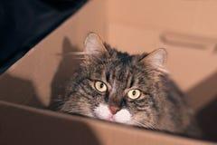 Η τιγρέ γάτα κάθεται σε ένα κιβώτιο καρτών και εξετάζει τη κάμερα Στοκ φωτογραφίες με δικαίωμα ελεύθερης χρήσης