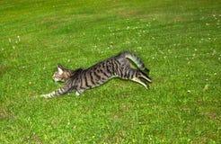 Η τιγρέ γάτα κάνει ένα μεγάλο πήδημα στον κήπο στοκ εικόνα